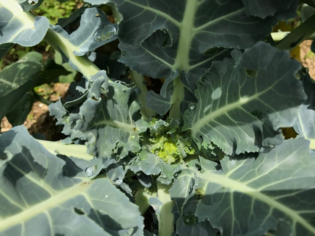 いなか日記。23『家の庭の野菜たち_6月その2。』