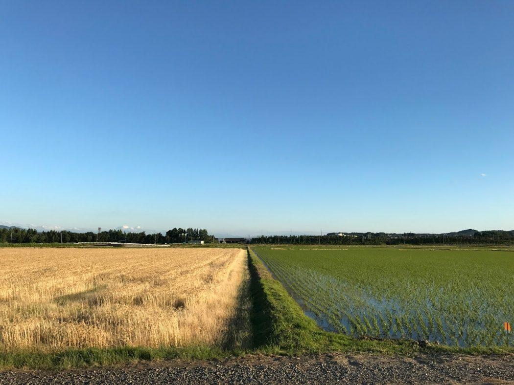 いなか日記。15『黄金の小麦と苗色の田んぼ。』