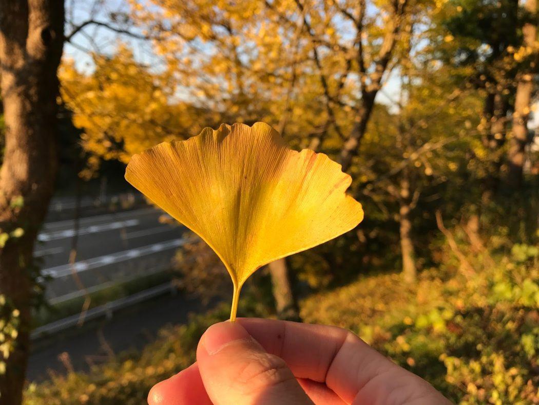 いなか日記。55『家のイチョウの紅葉。』