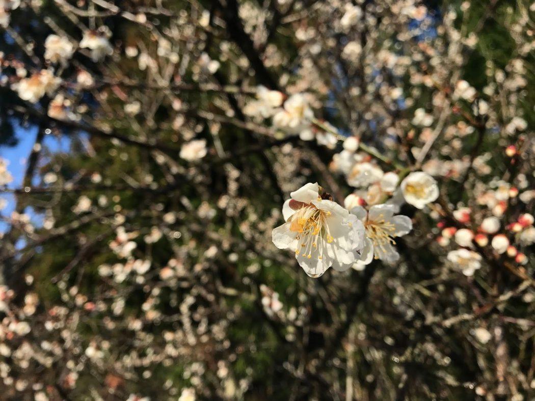 いなか日記。107『春の庭と高内城址のカタクリ。』