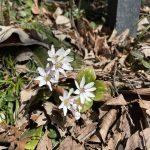 新潟観光大使。94『えちご雪割草街道「妙法寺」』陰日向に咲く春の妖精。自然を慈しむ心。