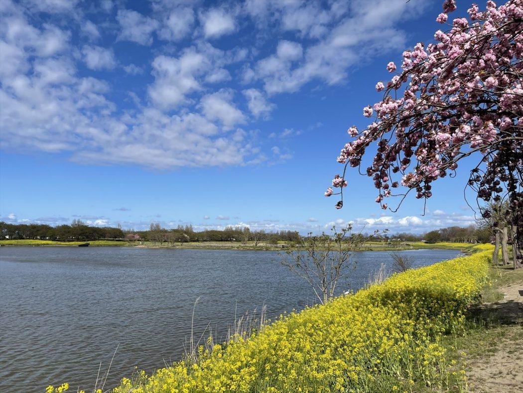 新潟観光大使。99『「上堰潟公園の菜の花」と「雨の日月カフェ」』自然と人、活力の循環。
